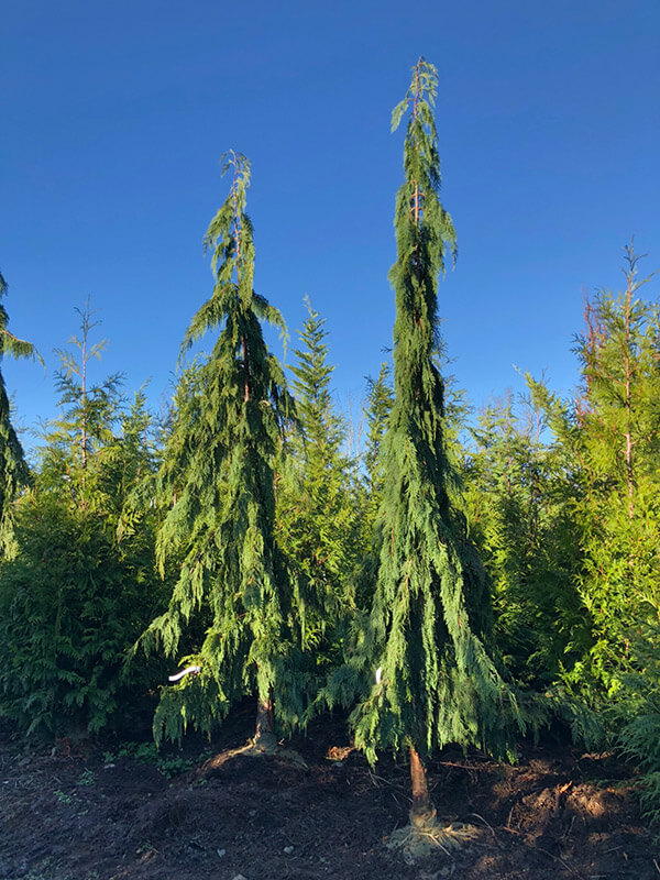 Alaskan Weeping Cedar Image