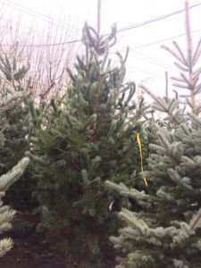 Joe Burke Lumber Pine