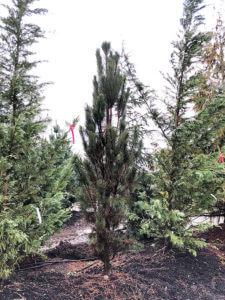 Columnar Black Pine