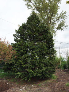 Hinoki Cedar