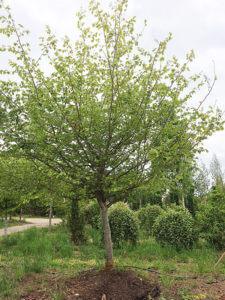 Persian Ironwood