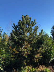 Oregon Green