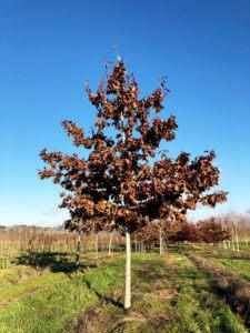 Red Oak'