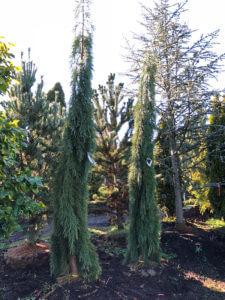 Weeping Sequoia