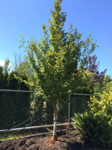 tree nursery Seattle