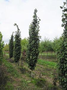 Swedish columnar aspens