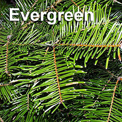 evergreen trees