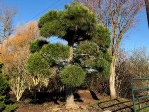 specimen tree