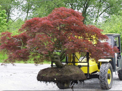 Big Trees Inc. Extracts and Saves Two Large Japanese Maples