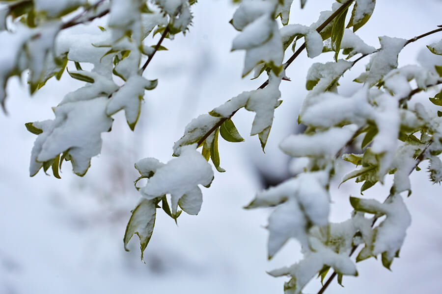 Will a Late Spring Frost Damage Your Trees?
