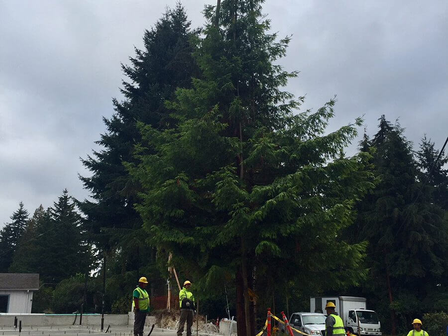 Big Trees Inc. Helped a Builder Move a Large Landscape Tree