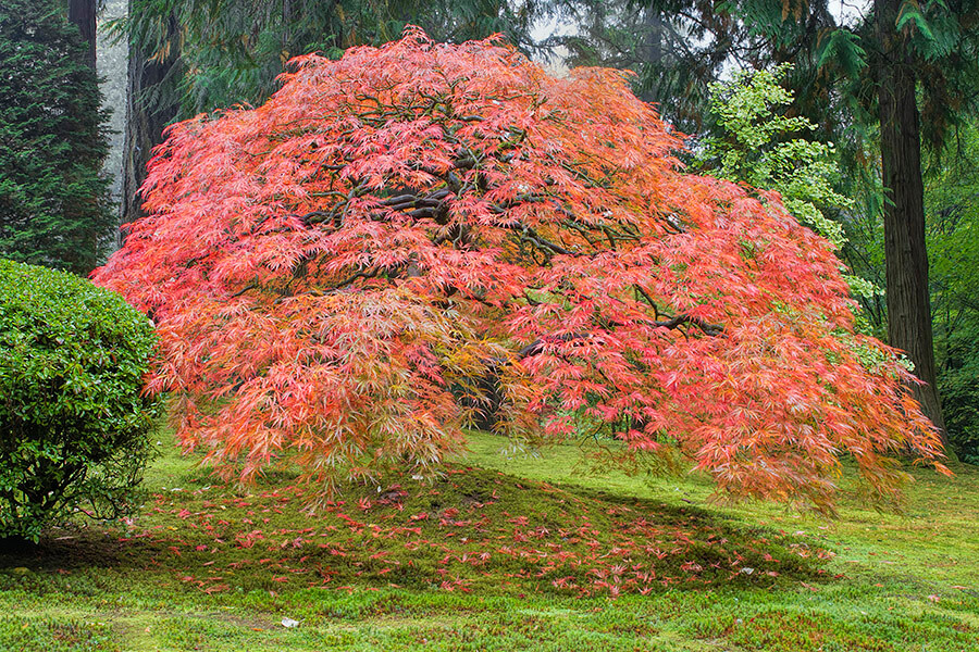 Big Trees Inc. Helps Relocate a Large Japanese Maple